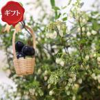 (観葉)果樹ギフト ビルベリー 6号(1鉢)(ピック付)