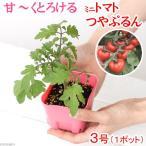 (観葉)パナプラス 野菜苗 トマト 甘くとろけるトマト つやぷるん 3号(1ポット) 家庭菜園