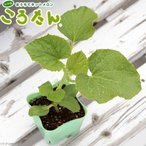 (観葉植物)サカタのタネ 野菜苗 メロン ころたん 3号(5ポット) 家庭菜園