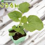 (観葉植物)サカタのタネ 野菜苗 メロン ころたん 3号(10ポット) 家庭菜園