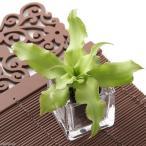 (観葉植物)ビバリウムプランツ クリプタンサス グリーン 4cmポット入り(1ポット)