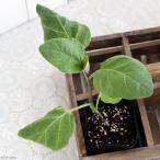 (観葉)野菜苗 ナス 秋ナス 3号(お買い得3ポットセット) 家庭菜園