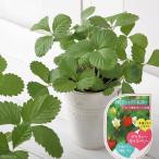 (観葉)ハーブ苗 ワイルドストロベリー プリティーキッスベリー 3号(お買い得3ポットセット) 家庭菜園