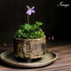 (盆栽)苔盆栽 おまかせ益子焼鉢植え スミレ(菫)丸型 小(1鉢)