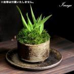 (山野草)苔盆栽 おまかせ益子焼鉢植え コバンソウ(タワラムギ) 丸型 小(1鉢)