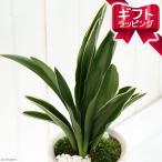 (山野草)山野草ギフト オモト(万年青) 都城 陶器鉢植え(1鉢)(受け皿付) 新築祝い 引越し祝い