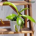 (食虫植物)ウツボカズラ ネペンテス アラタ 3.5号(1鉢)