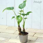 (観葉植物)アロカシア ククラタ シマクワズイモ 3号(1ポット) 北海道冬季発送不可