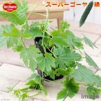 (観葉)緑のカーテン デルモンテ 野菜苗 スーパーゴーヤ 大苗 4号(1ポット) 家庭菜園