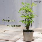観葉植物 ポリシャス フィリシフォリア 3号 1ポット
