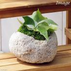 (観葉)苔盆栽 コウモリラン(ビカクシダ アルシコルネ) 抗火石鉢植え Mサイズ(1鉢)