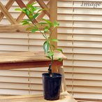 (観葉)果樹苗 おまかせ柑橘類の苗 3号(1ポット) 家庭菜園