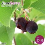 (観葉)果樹苗 ジューンベリー 5号(1ポット) 家庭菜園