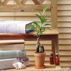 (観葉植物)ガジュマル 2号ロング(1鉢) 受け皿無し 北海道冬季発送不可