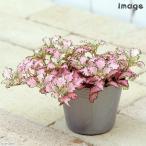 観葉植物 フィットニア ピンク 3号 1ポット