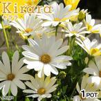 (観葉植物)サントリー オステオスペルマム キララ ホワイト 3.5号(1ポット) 北海道冬季発送不可の写真