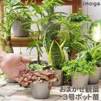 (観葉)おまかせ観葉植物 3号(お買い得3ポットセット)