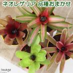 (観葉)ブロメリア ネオレゲリア 品種おまかせ 4号(1鉢)