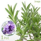 (観葉)ハーブ苗 イングリッシュラベンダー 濃紫 3号(1ポット) 家庭菜園