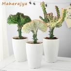 (観葉植物)ユーフォルビア ラクテア クリスタータ マハラジャ 4号(1鉢)