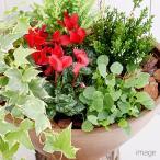 (観葉)季節の草花5種のアンティーク調樹脂ポット 寄せ植え ゴールドクレスト&ガーデンシクラメン&ヘデラ他(完成品)