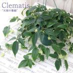 (観葉)クレマチス アンスエンシス 天使の歌姫 5号(1鉢) 常緑冬咲きクレマチス