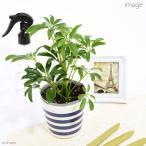 観葉植物 シェフレラ ホンコン 3号 1ポット