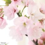 (盆栽)山野草盆栽 サクラ(桜) 常滑焼鉢植え 開花終了株 4号(1鉢) 受け皿付き