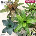 (観葉)ブロメリア フリーセア 品種おまかせ 2号(1鉢)