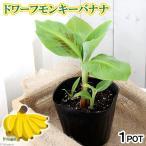 (観葉)バナナ ドワーフモンキ−バナナ 4.5号(1ポット)