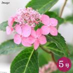 (山野草/盆栽)ヤマアジサイ(山紫陽花) 七変化 花無し株 5号(1鉢)