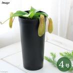 (食虫植物)ウツボカズラ ネペンテス リンダ 4号(1鉢)
