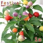 (観葉)野菜苗 トウガラシ フェスティバル 3.5号(1ポット) 家庭菜園
