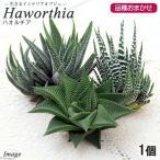 (観葉植物)オランダ産 ハオルチア 種類おまかせ(1個) 生きるインテリアオブジェ