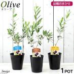 (観葉植物)果樹苗 オリーブ(品種おまかせ) 3.5号(1鉢) 品種名のラベル付き 家庭菜園
