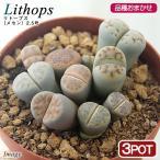 観葉植物 リトープス メセン 品種おまかせ 2.5号 3鉢