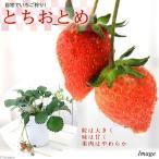 (観葉植物)野菜苗 イチゴ とちおとめ 4.5号(1鉢) 家庭菜園 北海道冬季発送不可
