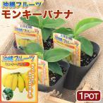 (観葉植物)果樹苗 沖縄 バナナ モンキーバナナ 3.5号(1ポット) 家庭菜園 説明書付き