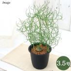 観葉植物 ボウィエア ボルビリス 蒼角殿 ソウカクデン コーデックス 3.5号 1鉢