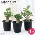 (観葉植物)アデニウム バオバブフォーム コーデックス 4号(1鉢) 沖縄別途
