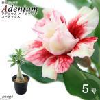 (観葉植物)アデニウム sp. ハイブリッド コーデックス 5号(1鉢)