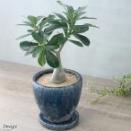 (観葉植物)アデニウム sp. ハイブリッド 陶器鉢植え ジェミニボウルM 青(1鉢)
