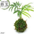 (観葉植物)苔玉 テーブルヤシ Ver.這苔(1個) 関東当日便