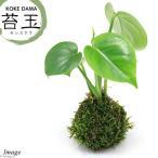 (観葉植物)苔玉 モンステラ Ver.這苔(1個) 関東当日便