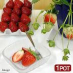 (観葉植物)野菜苗 イチゴ おいCベリー 3号(1ポット) 家庭菜園 いちご苗 北海道冬季発送不可