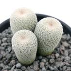 (観葉植物)サボテン エピテランサ 月世界 群生 実生 2.5号 Lサイズ(1鉢)