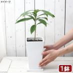(観葉植物)カニステル 陶器鉢植え ジュノー WH(1鉢)受け皿付き