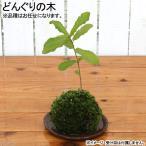 (盆栽)苔玉 どんぐりの木(1個) 観葉植物 コケ玉