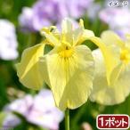 (ビオトープ/水辺植物)花菖蒲 みちのく黄金(ミチノクコガネ)(1ポット分)