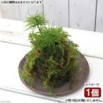 (盆栽)苔玉 コウヤノマンネングサ(1個) 観葉植物 コケ玉